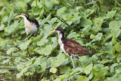 Jacana spinosa on floating plants. The northern jacana  Jacana spinosa walking  on floating vegetation Stock Image