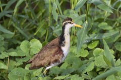 Jacana spinosa on floating plants. The northern jacana  Jacana spinosa walking  on floating vegetation Stock Photography