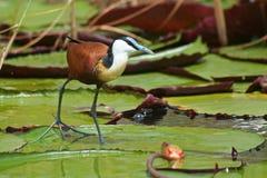 Jacana sur des waterlilies, Botswana Photographie stock