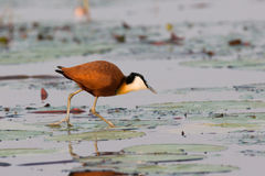 Jacana walking across lilies. Jacana walking across water lilies Stock Photos