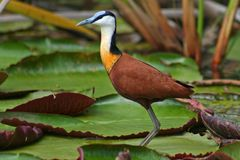 Jacana on waterlilies, Botswana royalty free stock photos