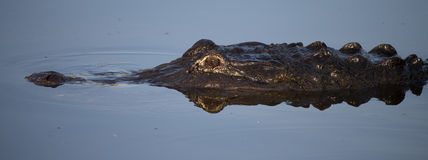 Jacaré americano no pantanal de Florida Imagem de Stock Royalty Free