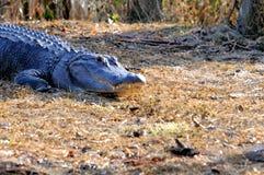 Jacaré americano nos pantanais, Florida Foto de Stock