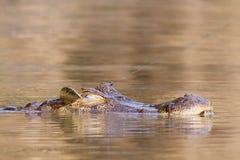 Jacaré do caimão enganchado na cabeça com linha de pesca Foto de Stock
