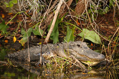Jacaré masculino maciço nos marismas, Florida imagem de stock