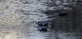 Jacaré no parque estadual da curvatura de Brazos, Texas, EUA imagem de stock royalty free