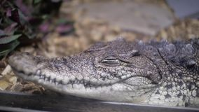 Jacaré no terrarium cayman crocodilo filme