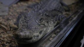Jacaré no terrarium cayman crocodilo video estoque