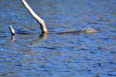 Jacaré que nada perto em uma conserva de natureza em Florida Fotografia de Stock