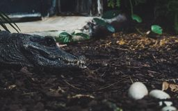 Jacaré que olha sobre seus ovos opinião lateral do retrato o crocodilo com o ladrão grande do sharp do olho roxo fotos de stock royalty free