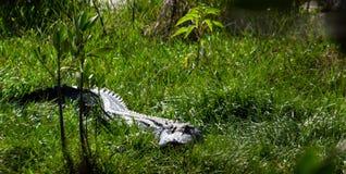 Jacaré que sneaking através da grama em Marsh Trail em Florida ocidental sul Fotos de Stock Royalty Free