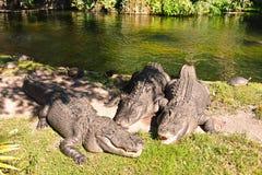 Jacarés que relaxam no lado de uma lagoa na área de Tampa Bay fotografia de stock