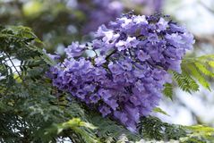 jacarandà ¡,兰花楹属植物, tarco 免版税库存图片