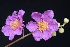 Jacaranda. Flowers - isolated on black Royalty Free Stock Images