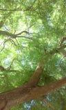jacaranda Стоковая Фотография