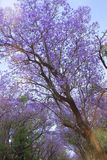 jacaranda Imagenes de archivo