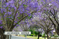 Jacaranda Avenue. Jacaranda in full bloom along a street called Jacaranda Avenue Stock Photography