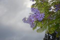 Jacaranda Stock Image