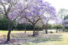Jacaranda Stock Photos