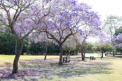 Jacaranda. Beautiful Jacaranda trees in New Farm Park, Queensland, Australia Stock Photos