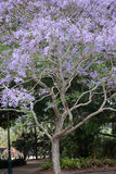 Jacaranda Royalty Free Stock Image