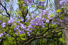 Jacaranda Stock Photo