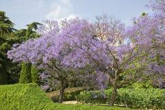 Jacaranda bleu photos stock