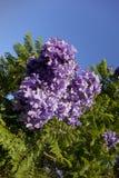 Jacaranda bleu, la Californie du sud Images libres de droits