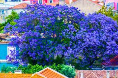 Jacaranda in bloom on rooftops of Lisboa, Portugal. Jacaranda in flower on rooftops and a ruined building in Ameixoeira area, Lisboa, Portugal. The jacaranda is Royalty Free Stock Photo