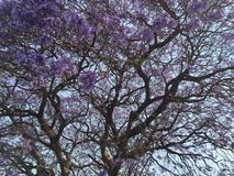 Jacaranda in Bloom. Jacaranda tree in violet, full bloom, Harare, Zimbabwe in October Stock Image