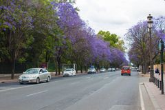 Jacaranda blooming trees along the road stock image