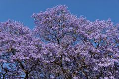 Jacaranda blossom background Stock Photography