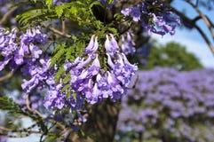 Jacaranda blossom-flowers close-up. Jacaranda blossom in spring at Johannesburg street. Close-up Stock Photos