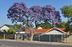 Jacaranda blossom in spring Stock Photography