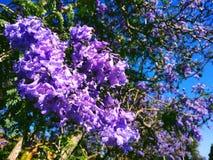 Jacaranda Royalty Free Stock Image