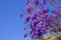 Jacaranda branch. Jacaranda tree and branch with blue sky on the background Royalty Free Stock Photo