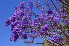 Jacaranda branch. Jacaranda tree and branch with blue sky on the background Stock Image