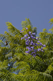 Jacaranda cuspidifolia flowering Royalty Free Stock Images