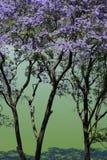 jacaranda czworoboka Sydney drzewa uniwersytet Obrazy Royalty Free
