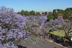Jacaranda de floraison sur les rues de Pretoria photos libres de droits
