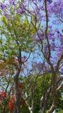 Jacaranda de la primavera Fotos de archivo libres de regalías