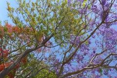 Jacaranda de la primavera Fotografía de archivo libre de regalías