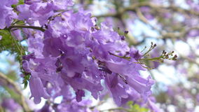 Jacaranda de la primavera Fotos de archivo