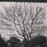 Jacaranda do inverno Fotografia de Stock