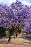 jacaranda drzewa zdjęcia stock