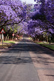 jacaranda drzewa fotografia royalty free