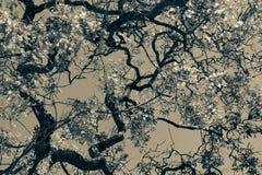 Jacaranda drzewa Buenos Aires obraz stock