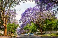 Jacaranda drzewa wykłada ulicę Johannesburg przedmieście Zdjęcia Royalty Free