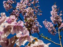 Jacaranda drzewo kwitnie w Spain obrazy stock