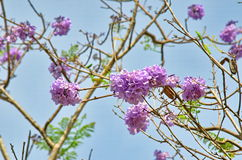 Jacaranda filicifolia (Anderson) Royalty Free Stock Images